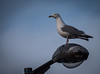 Gull - Dunoon March 2018 (GOR44Photographic@Gmail.com) Tags: seagull gull coast cowal argyll dunoon scotland bird sky gor44 panasonic gx8 100300mmf456mk2 feathers wing white
