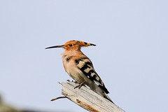 Eurasian Hoopoe (leonparis) Tags: turkey kütahya spring animal nature zoom tamron canon hoopoe birding birds