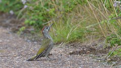 "Green Woodpecker (""Yaffle"") (KHR Images) Tags: greenwoodpecker picusviridis picidae picus yaffle juvenile youngster fendraytonlakes rspb cambridgeshire wildlife nature nikon d500 kevinrobson khrimages"