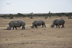 White Rhino Family (featherweight2009) Tags: whiterhinoceros ceratotheriumsimum rhinoceroses rhinos squarelippedrhinoceros mammals africa