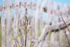 The same color, the same intention. Up to the sky. (Gudzwi) Tags: fence fencefriday fencephotography zaun holzzaun pflanze flora 7dwffridaysflora 7dwf sonne sonnenlicht frühling spring sunlight sun sunny sonnig kleinfrüchtigeraffodill asphodelusaestivus summerasphodel liliengewächs lilyplant plant woddenfence mallorca balearen spain spanien upright aufrecht hff