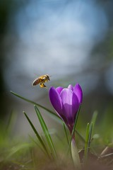 Attraction.. (Bomonsted) Tags: crocus bee bokeh bokehlicious carlzeiss apo sonnar t 135mmf2