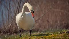 The Swan (redfurwolf) Tags: swan nature outdoor wildlife sonyalpha a7riii lake grass redfurwolf captureonepro11