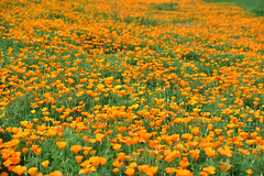 California Poppies (3) (Ian E. Abbott) Tags: californiapoppies eschscholziacalifornica california poppies wildflowers flowers sanjose colemanavenue