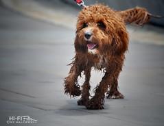 Scraggly (Hi-Fi Fotos) Tags: wet dog cute pup scraggly shaggy soggy furry walk lean leash pooch canine animal sigma 18250mm nikon d5000 hififotos hallewell