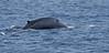 Blue Whale (MWBee) Tags: bluewhale whale lamprey sea laccadivesea srilanka balaenopteramusculus mwbee nikon d750 nationalgeographic