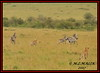 CHEETAH CUBS (Acinonyx jubatus).....WITH COMMON ZEBRA (Equus burchelli).....MASAI MARA......SEPT 2017 (M Z Malik) Tags: nikon d3x 200400mm14afs kenya africa safari wildlife masaimara keekoroklodge exoticafricanwildlife exoticafricancats flickrbigcats cheetah cheetahcubs acinonyxjubatus zebras ngc npc