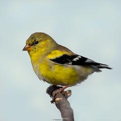 American Goldfinch / Carduelis tristis (Rafael Arvelo C.) Tags: american gold finch goldfinch· americangoldfinch pa usa migratory carduelistristis