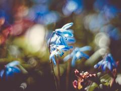 Ulysses (davYd&s4rah) Tags: spring frühling macro flower blume sun beautiful great light regensburg pentacon 50mm f18 germany deutschland ratisbona garten garden bokeh focus low angle pov dof background olympus em10markii manual handheld 17°c april makro stadtpark blue blau shades
