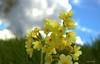 Farbenfroh! (Renata1109) Tags: blumen blüte blume makro gelb frühling outdoor schlüsselblume primel natur gras himmel wolken perspektive
