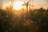 Sunny eve (alexander_skaletz) Tags: sun sunny macro bokeh landscapes landscape landscapephotography nature photography grass sunset green flowers yellow flower village germany badenwürtemberg nikon nikond5300 spring naturelovers makro april warm