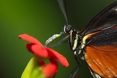 Butterfly 2 (dennisgg2002) Tags: cleveland ohio oh botanical garden butterfly macro pollen nectar