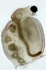 Ceriodaphnia (mr.sansibar) Tags: arthropoda crustacea plankton zooplankton pondlife planapo olympusbh2 focusstacking photomicrography microscopy heliconfocus polarizedlight waterflea cladocera ceriodaphnia