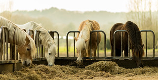 Hungry horses.