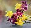 Spring indoors and outdoors ;o) (Elisafox22 catching up again ;o)) Tags: elisafox22 sony ilca77m2 100mmf28 macro macrolens telemacro springflower20172018 hsos smileonsaturday flower daffodils orchids purple yellow spring flowers sunshine light dof indoors texture texturing elisaliddell©2018