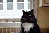 Batman, my sunshine on a rainy day. (rootcrop54) Tags: batman tuxedo male whitewhiskers whiskers eyes kitchen neko macska kedi 猫 kočka kissa γάτα köttur kucing gatto 고양이 kaķis katė katt katze katzen kot кошка mačka gatos maček kitteh chat ネコ