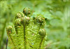 Unfurling Fern Fronds (jo92photos) Tags: spring springtime woods ferns unfurling fronds green leaves growing uk