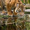 Who Goes There? (Penny Hyde) Tags: bigcat cub safaripark sumatrantiger tigercub