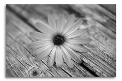 African Daisy in Black & White (Bear Dale) Tags: african daisy black white south coast barn new wales australia canon 5dmkii nikon d850
