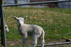 Kleines Lamm (Professor Besserwisser) Tags: lamm schaaf schaf lamb animal cordero nikond3400 tamron70300mm agneau agnello cordeiro lam ягнёнок خروف sheep fell schafsfell oveja pieldeoveja schaffell sheepskin