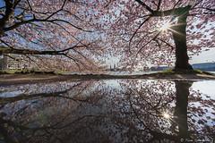 A L S T E R (spityHH) Tags: alster blüte frühling kirsche pfütze sonyalpha spiegelung spring
