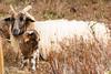 Big sheep and mini sheep (Leo Kramp) Tags: 2018 lamb sheep accessoires loweproflipside300awii lammetje flickr drentsheideschaap gortel vaassen gelderland nederland nl