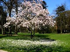 Nun der Winter ist vergangen (amras_de) Tags: magnolie magnolia šácholan magnolio magnoliat liliomfa magnolija magnoliaslekten magnólia magnoliasläktet manolya frühling primavera proljece jaro forår spring printempo kevad udaberri kevät printemps earrach tavasz vor ver fréijoer pavasaris lente vår prima wiosna primavara ware jar pomlad ilkbahar nerotalanlage wiesbaden nerotal