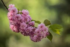 Blütentraum (Anja Anlauf) Tags: blüten kirschbaum natur baum frühling