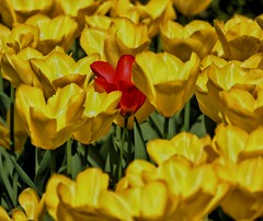 The odd one out!😁🌻🌷 (LeanneHall3 :-)) Tags: tulips red yellow petals closeup closeupphotography flowers flowersarefabulous flowersarebeautiful flower eastpark hull kingstonuponhull landscape canon 1300d