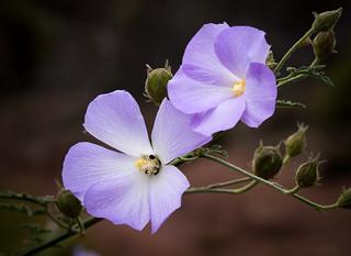 Alyogyne huegelii- Lilac Hibiscus