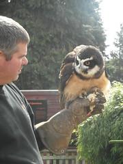 Spectacled owl gets its reward (bryanilona) Tags: handler specatcledowl pulsatrixperspicillata babychicken treat reward glove birdofprey roseacre gardencentre webbs hagley