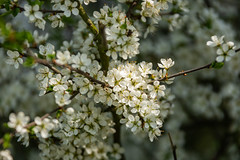 White Blossom (Future-Echoes) Tags: 4star 2018 april blossom bokeh depthoffield dof essex hillhousewood light spring westbergholt white england unitedkingdom gb