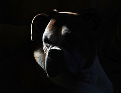 Shadow Boxer (Deepgreen2009) Tags: shadows contrast boxer light sunlight stark dog face home trixy