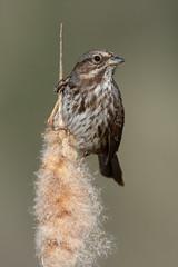 Clarke_180316_1063.jpg (www.raincoastphoto.com) Tags: birds songsparrow birdsofbritishcolumbia birdsofnorthamerica melospizamelodia sparrows birdsofcanada britishcolumbia canada