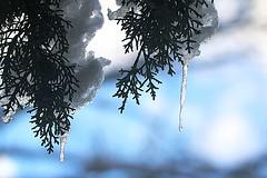 Ghiaccioli (xiaolifra) Tags: ghiaccioice ghiaccioli neve snow winter inverno paesaggiinnevati paesaggiinvernali landscape snowing alberoinnevato nevoso snowonthetrees ghiacciofondente
