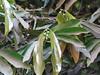 Diospyros malabarica_Jijamata Udyan6 (Alka Khare) Tags: diospyros ebenaceae