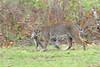2018-03-19 P1166548 Bobcat leaving with squirrel (Tara Tanaka Digiscoped Photography) Tags: nature bobcat squirrel prey predator cat wildlife manualfocus nikon300mmf28ais