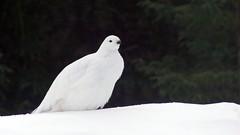 Lagopède des saules (peupleloup) Tags: canada hiver baiejames lagopède oiseau