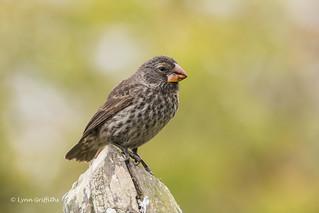 Medium Ground Finch - Female D85_1424.jpg