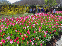 Spring at the Arboretum - 2018 (gttexas) Tags: 2018 arboretum dallas tx texas flower tulip usa
