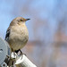 Northern Mockingbird enjoying the spring weather