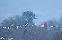Patrouille Suisse :-)) (jean-daniel david) Tags: oiseau oiseaudeau cygne vol volatile nature yverdonlesbains paysage