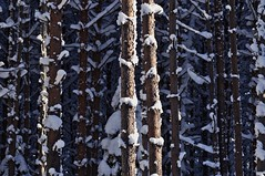 Light in the winter forest #2 (Stefano Rugolo) Tags: stefanorugolo pentax k5 pentaxk5 smcpentaxm100mmf28 ricohimaging abstract impression winter woods trees forest light hälsingland sweden snow shadows pattern