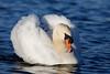 Mute swan (Westhay Moor) #4 (Steve Balcombe) Tags: bird mute swan cygnus olor westhay moor nnr somerset levels uk