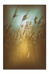 Les roseaux (Des.Nam) Tags: couleur nikon nordpasdecalais nord clairmarais nature desnam roseaux d800 105mmf2 jaune