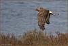 On the Hunt 1690 (maguire33@verizon.net) Tags: bif bolsachica bolsachicaecologicalreserve northernharrier bird birdofprey harrier hawk wetlands wildlife huntingtonbeach california unitedstates us