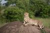 Cheetah (Jens Hyldstrup Larsen) Tags: gepard cheetah acinonyxjubatus rovdyr carnivora kattedyr felidae maranorth kenya