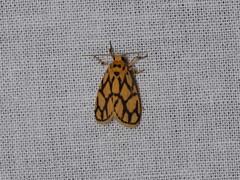 Lyclene conjunctana (dhobern) Tags: 2018 china lepidoptera march xtbg xishuangbanna yunnan erebidae arctiinae lithosiini lycleneconjunctana