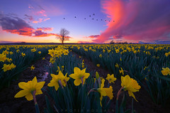 The Spectators (Protik Mohammad Hossain) Tags: daffodils skagit valley mnt vernon mount tulip festival wa fiery burning lone tree sunset