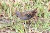 Elusive Champion (billywhiz07) Tags: water rail bird uk spring elusive